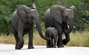 สามีเป็นช้างเท้าหน้า ภรรยาเป็นช้างเท้าหลัง